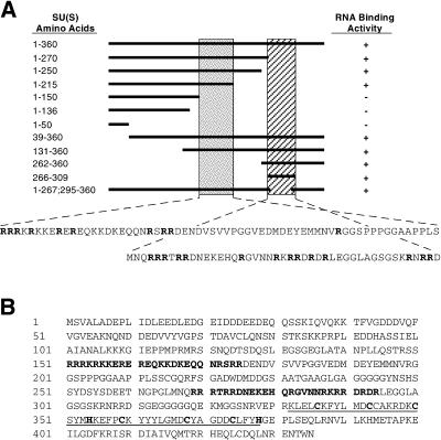 Arginine-rich regions mediate the RNA binding and regulatory activities of the protein encoded by the Drosophila melanogaster suppressor of sable gene.